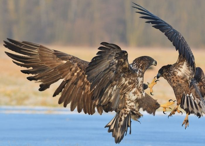 Photo of eagles fighting